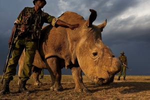 Wardens watching Sudan, the world's last male Northern white rhino. Picture: Ol Pejeta Conservancy